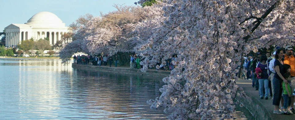 OTHE-POSSIBLE-NOT-TOO-EARLY-TO-PLAN-FOR-CHERRY-BLOSSOMS